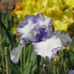 Hornpipe Tall Bearded Iris