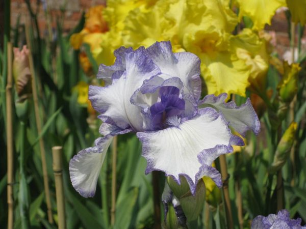 Hornpipe Tall White Bearded Iris with Purple 'stitching'