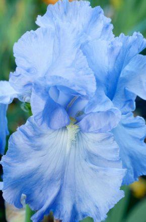 Iris with High Impact