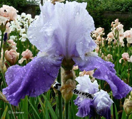 Rain-soaked iris