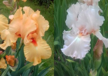 Our Irises colours are clear and clean