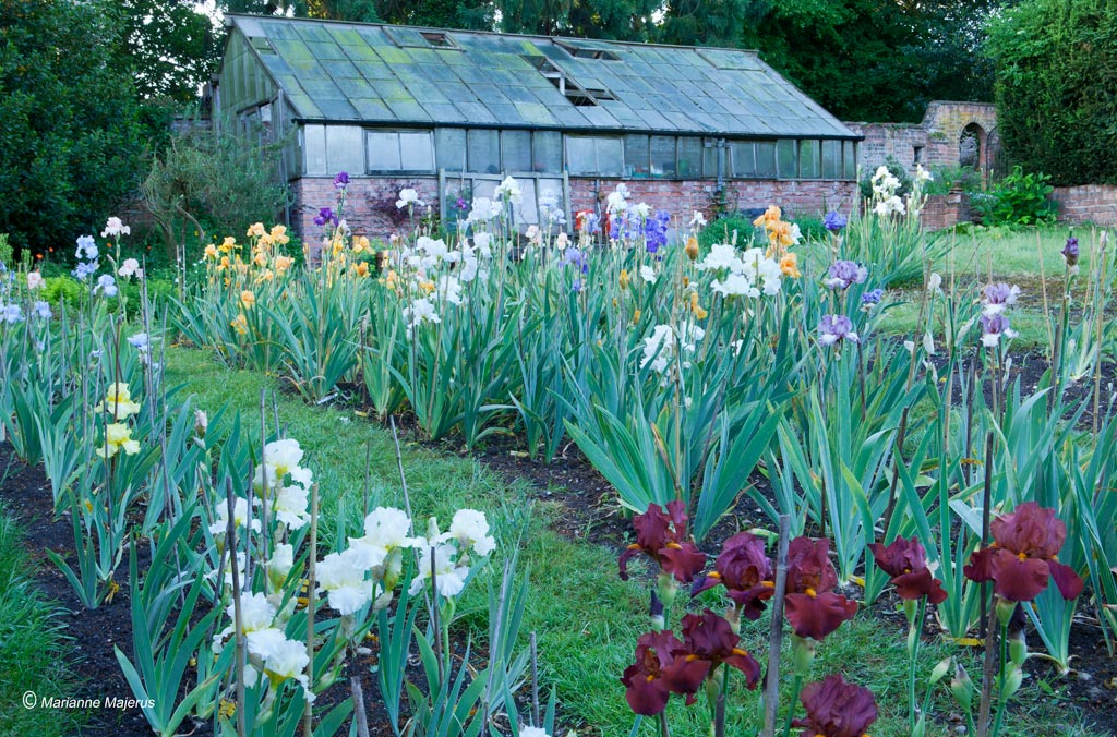 Irises planted in a south facing sunny location