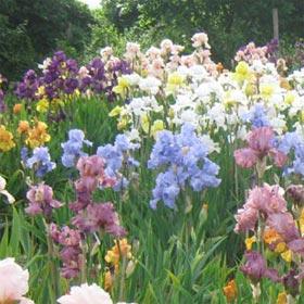 A Group of Bearded Irises
