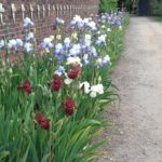 Some of the Bearded Irises in the Walled Garden at Doddington