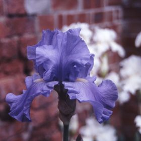 Wharfedale Award Winning Bearded Iris (UK Dykes Medal)