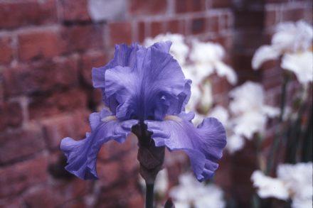 Wharfedale Award Winning Bearded Iris (UK Dykes Medal)