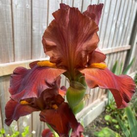 Red Pike One of Our Classic Red Award Winning British Bearded Irises