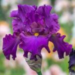 Blaeberry Pie One of Our Outstanding Award Winning British Bearded Irises