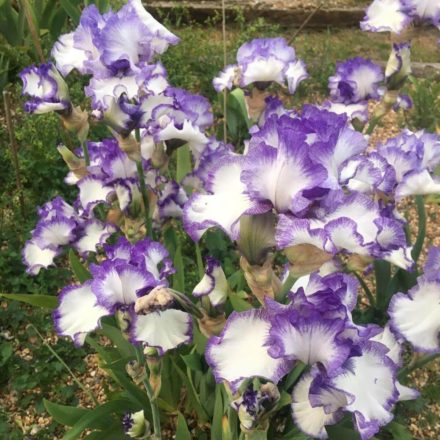 Monsal Dale Tall Bearded Iris